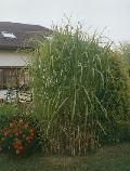 Bambus - Miskant olbrzymi. (Miscanthus gigantheus)  W  naszym klimacie ro�nie do 4 m wysoko�ci. Odporny na mrozy. Cena za 1 sadzonk�- k��cze.